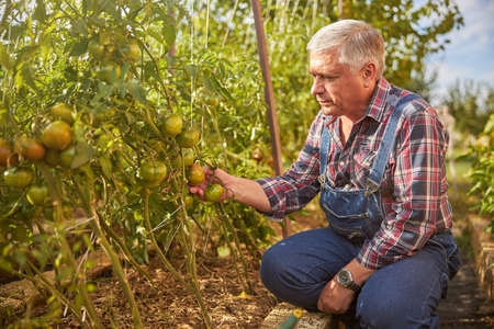 Aging man checking tomato plants in his garden
