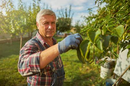 Senior gentleman working in his fruit orchard