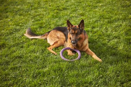 German shepherd pup resting on the grass