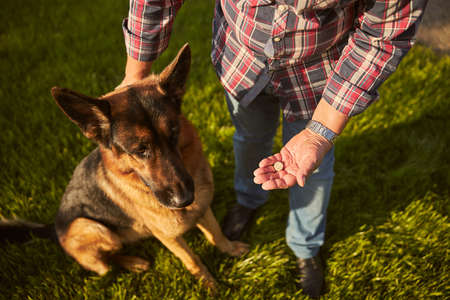Dog owner having a pill ready for his german shepherd