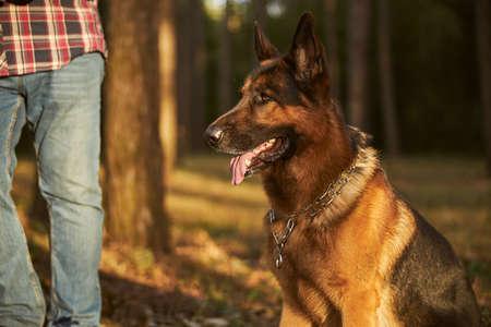 Cute german shepherd getting some outdoor time Archivio Fotografico