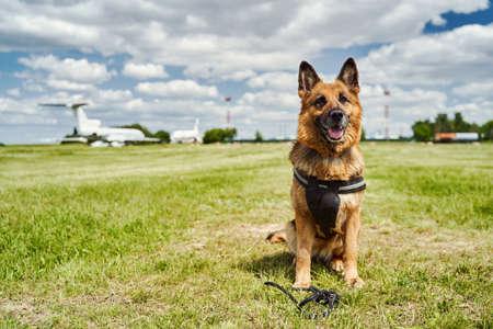 German Shepherd dog sitting on green grass at aerodrome