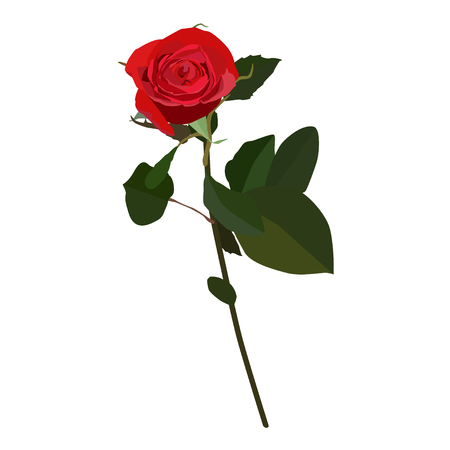 Blooming red rose, vector flat isolated illustration. Beautiful flower for greeting card, invitation, poster, banner.