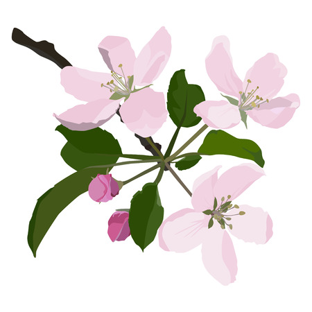 Apple tree branch in blossom, vector flat style design illustration isolated on white background. Beautiful apple tree flowers, springtime.