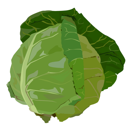 Fresh white cabbage with green leaves, vector flat isolated illustration. Healthy organic vegetable, cooking igredient.