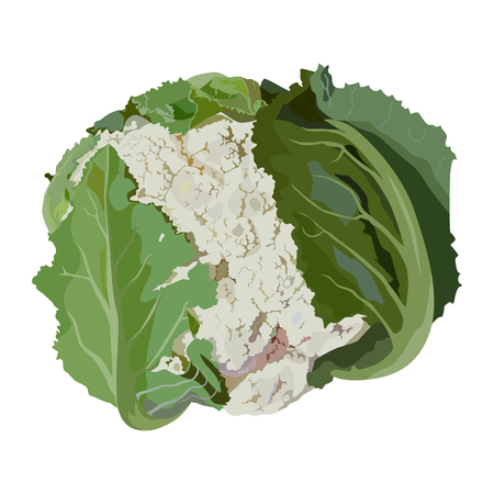 Fresh raw cauliflower with green leaves, vector flat isolated illustration. Healthy organic vegetable, cooking ingredient. Ilustração