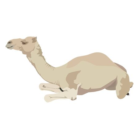 Arabian camel dromedary vector flat isolated illustration