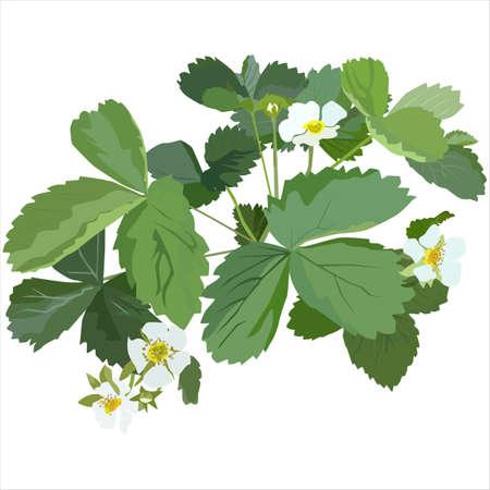 Garden strawberry plant blossom, vector flat isolated illustration Illusztráció