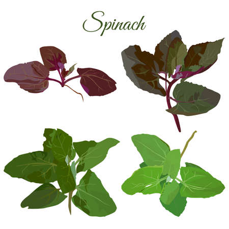 Fresh green and purple spinach plant set, vector isolated illustration