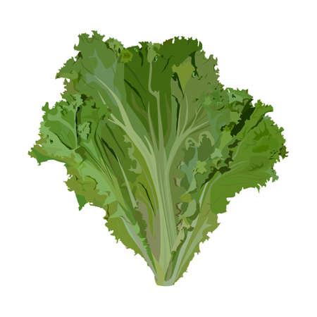 Fresh green leaf lettuce, vector illustration. Organic leaf vegetable, salad ingredient. Illusztráció