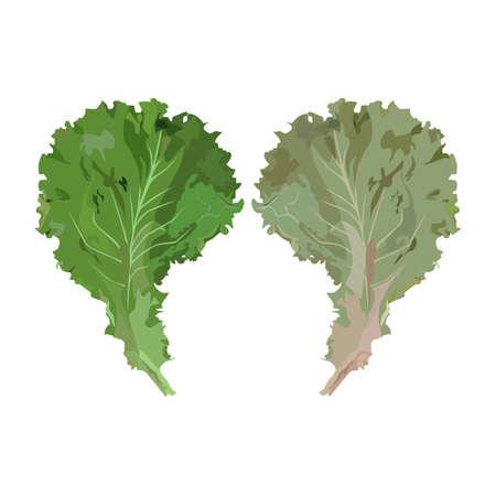Fresh green lettuce leaves, vector illustration. Organic leaf vegetable, salad ingredient.