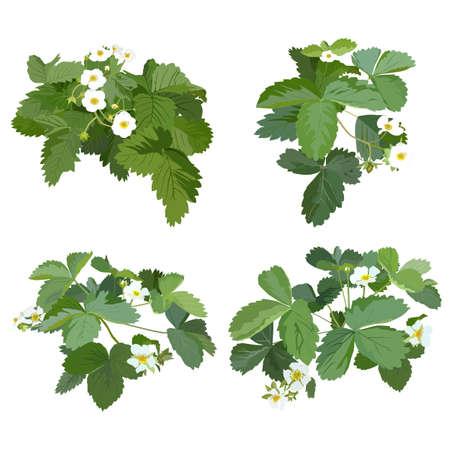 Garden strawberry plant blossom, vector flat isolated illustration set