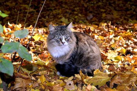Furry Cat and the Autumn Gold