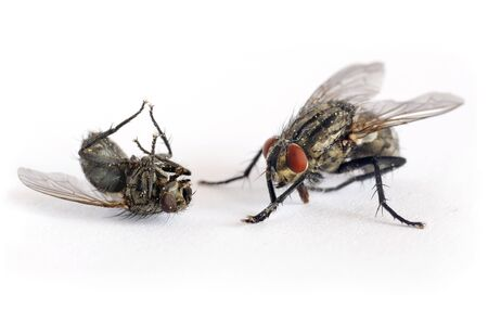 criminal fly kill another fly Stock Photo