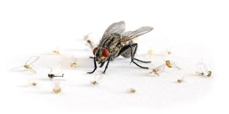terror big flesh-fly photo