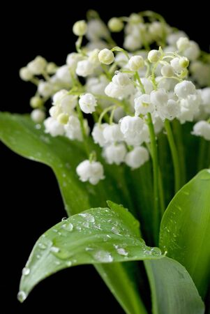 Bouquet of the lily of the valley on black background. Shallow DOF. Stock Photo - 4062508