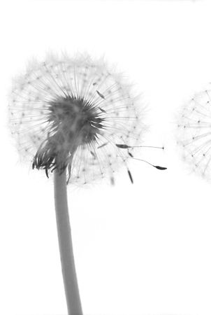 bw: Dandelions close-up on white background. B&W, film scan. Shallow DOF (seed between flowers).