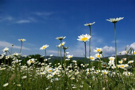 Camomiles on field at sunny day photo