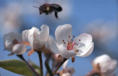 Blossoming branch of almonds and flying bee on background. Soft focus. photo