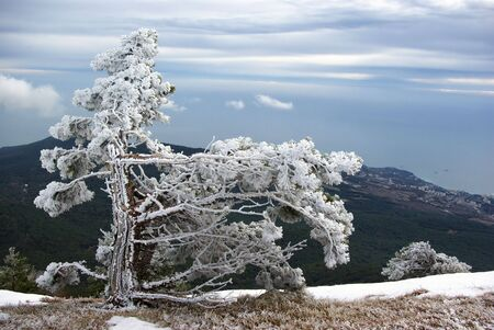 Single pine covered with frost on edge of mountain. photo