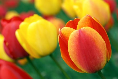 Spring field with red and yellow tulips. Shallow DOF. photo