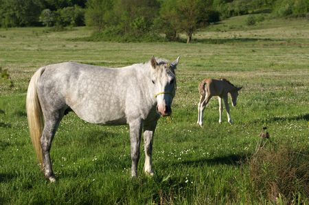 grazer: Horse and foal grazer on green meadow.