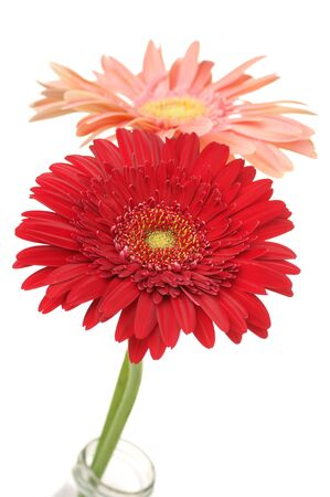 Two colorful gerberas isolated on white background. photo