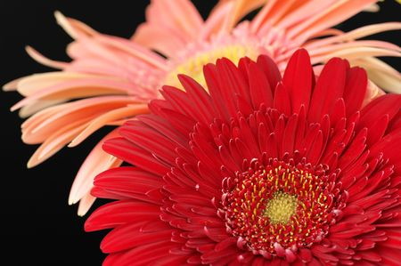 Two colorful gerberas close-up on black background. photo