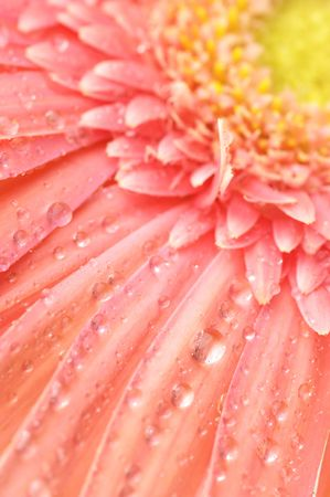 Close-up of pink gerbera with water drops, full frame. Stock Photo - 7349112