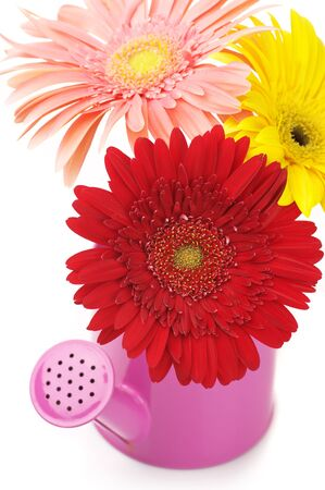 Pink watering can with colorful gerberas on white background. photo