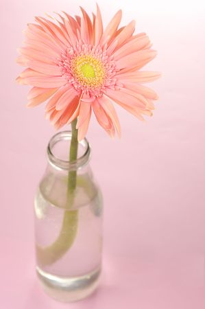 Pink gerbera in glass bottle on pink background. photo