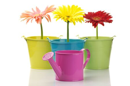 Three colorful buckets with gerberas and watering can isolated on white background. photo
