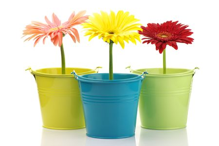 Three colorful buckets with gerberas isolated on white background. photo