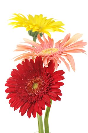 Three colorful gerberas isolated on white background. Stock Photo