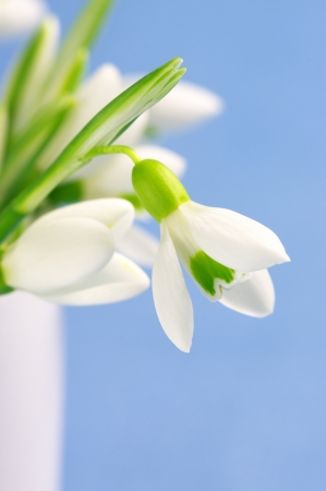 Close-up of fresh snowdrops in white vase on blue background.