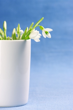 simple life: Bouquet of fresh snowdrops in white vase on blue background.