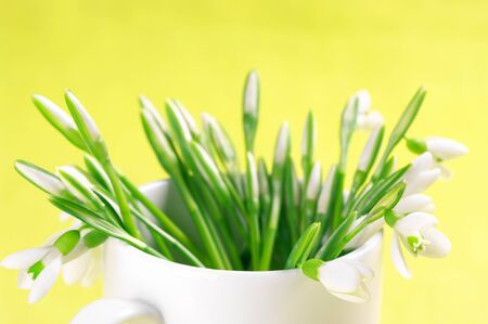 Bouquet of fresh snowdrops in white vase on yellow background. photo