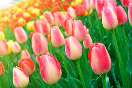 Spring field with colorful tulips in sunshine photo