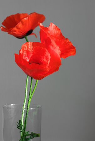 Three poppies in glass vase on gray background. photo
