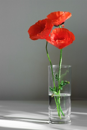 glass vase: Three poppies in glass vase on gray background. Stock Photo