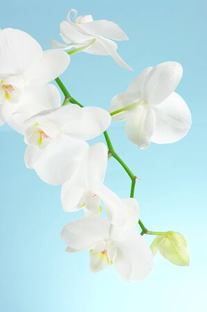 Branch of white orchid on light blue background. Stock Photo - 12982795