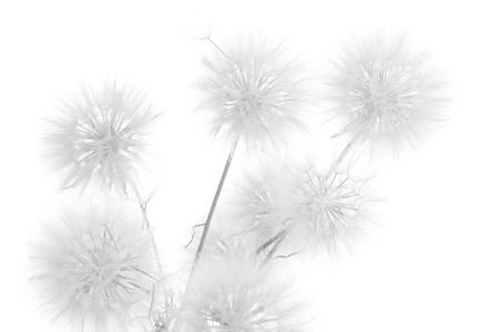 Bunch of dandelions on white background. Black&white, high key.