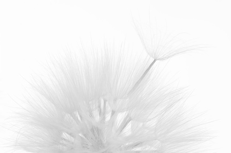 blackwhite: Head of dandelion close-up on white background. Black&white, high key. Stock Photo