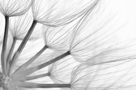 dandelion abstract: Extreme close-up of dandelion. Black&white, shallow DOF.
