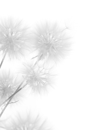 Bunch of dandelions on white background. Black&white, high key. photo