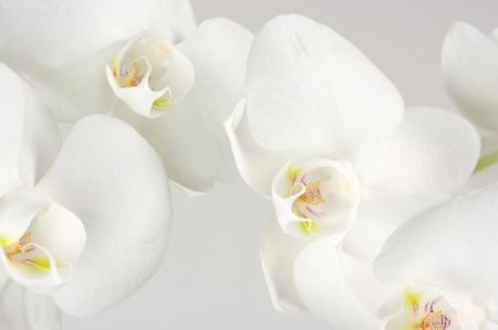 明るい背景上の白い蘭の花のクローズ アップ。 写真素材