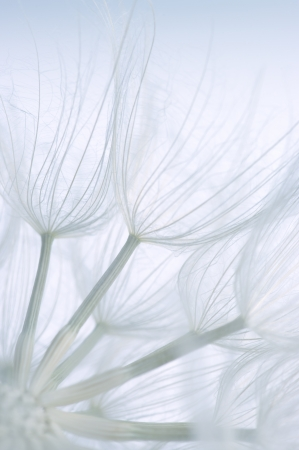 Extreme close-up of dandelion. Toned image, shallow DOF. Imagens