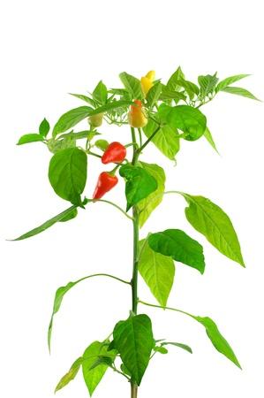 白い背景の上のコショウの植物。