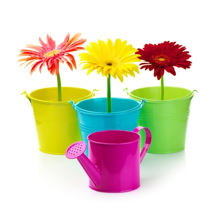 Three colorful gerberas in buckets and watering can isolated on white background. photo