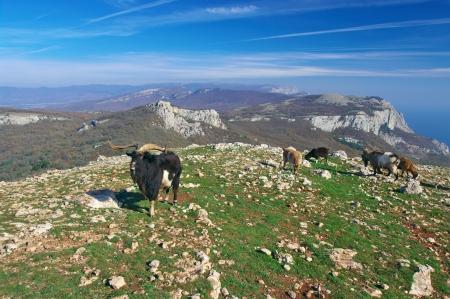 mountain goats: Gregge di capre di montagna in habitat. Archivio Fotografico
